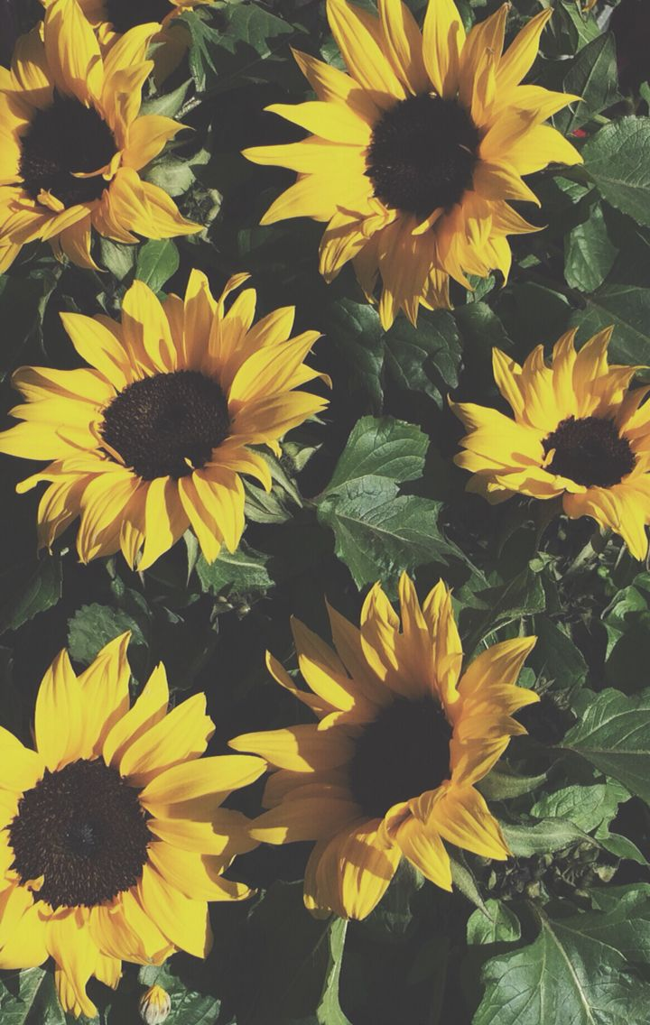 Aesthetic Sunflower Background Iphone Largest Wallpaper Portal