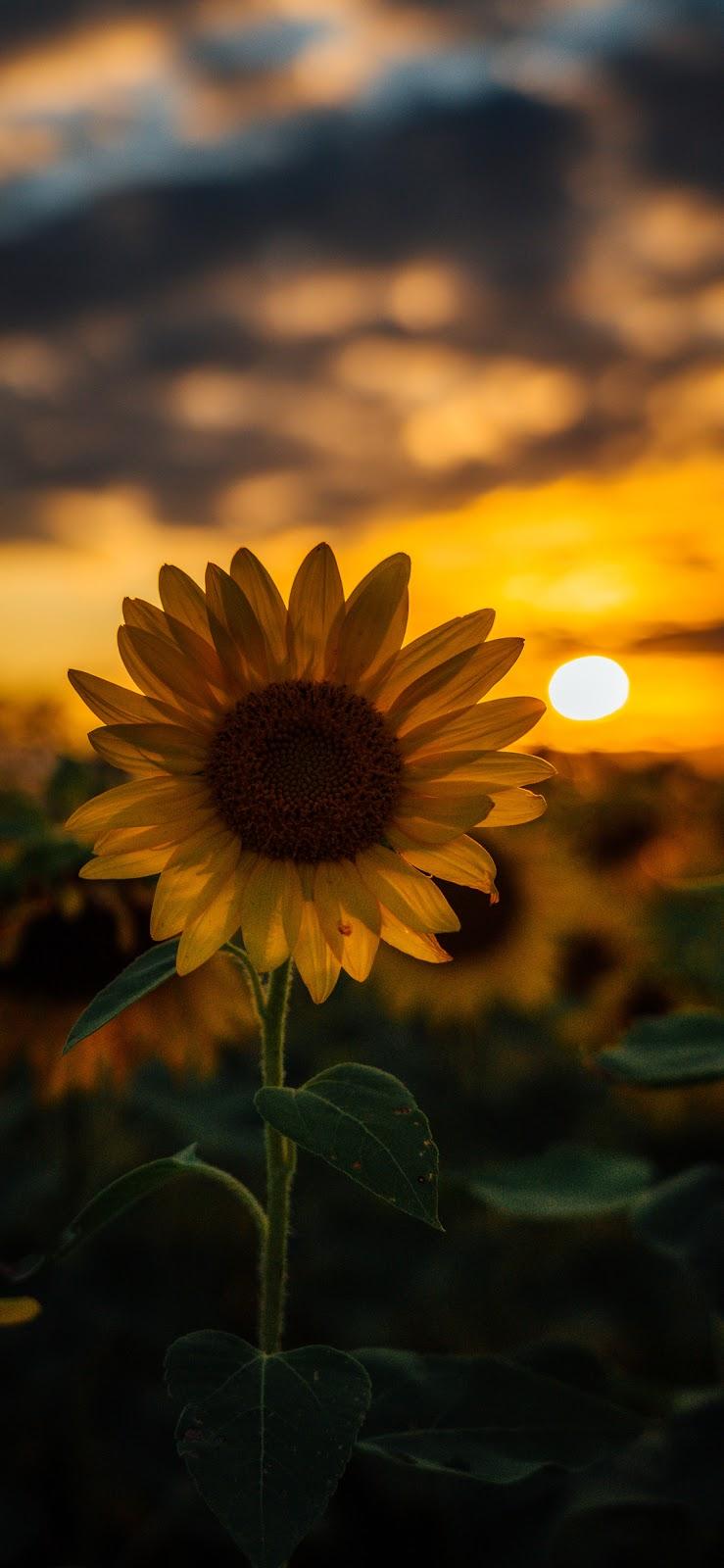 Sunflower Wallpaper Iphone X Sunflower Background For Iphone 238734 Hd Wallpaper Backgrounds Download
