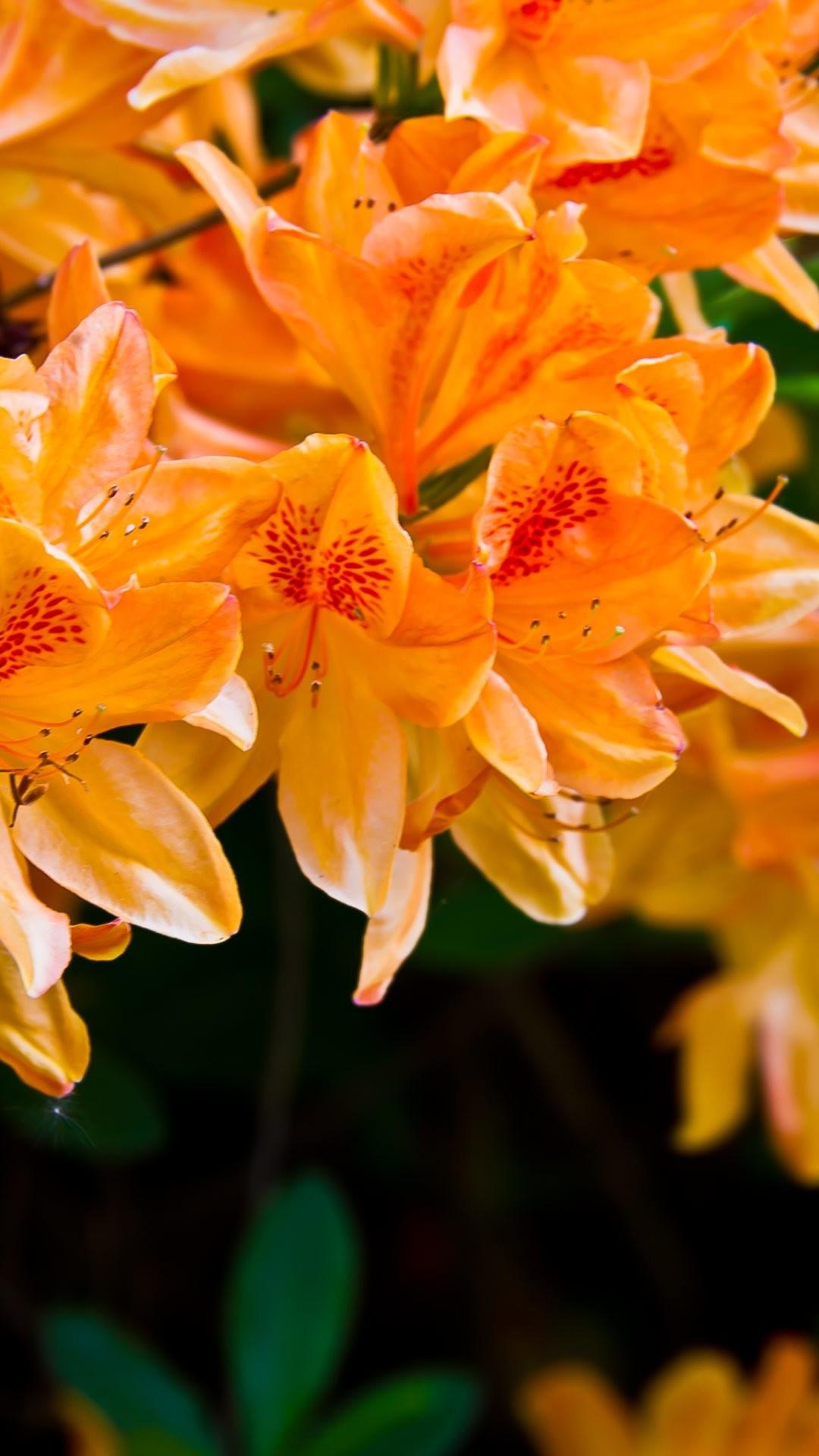 Light Orange Flowers Iphone 6 Plus Hd Wallpaper Orange Flower Wallpaper Iphone 357357 Hd Wallpaper Backgrounds Download