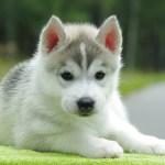 Beautiful Alaskan Malamute Puppy Wallpapers And Images Perro De Nieve Husky 964474 Hd Wallpaper Backgrounds Download