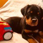 rott-pups-0-150x150 Puppy Kindergarten!