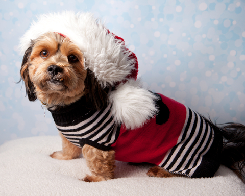 dreamstime_xs_96779910 A Paws-atively Perfect Holiday for Your Pet!