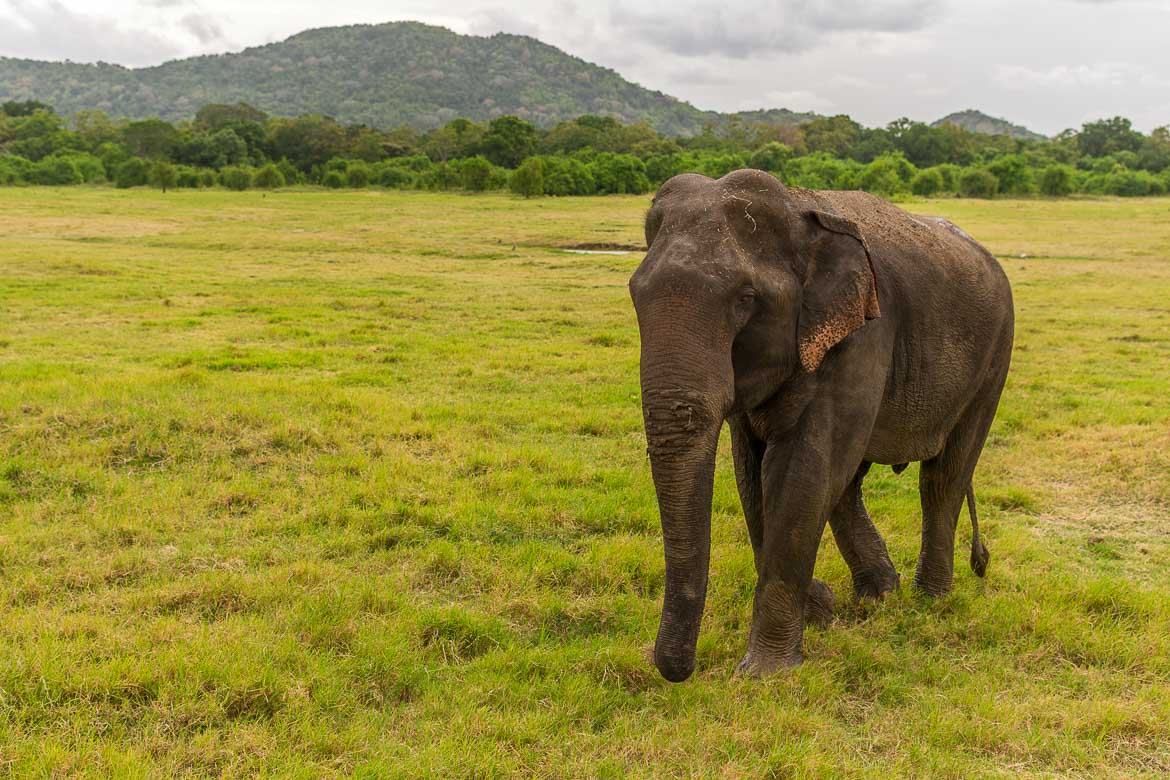 This photo shows a lone elephant walking around the stunningly green Minneriya national park.