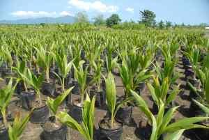 coconut-farming