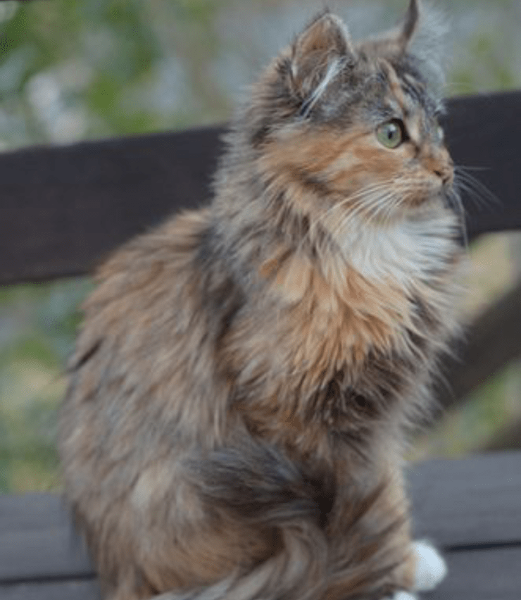 Medium-haired dilute calico cat on a bench looking off to the right Credit: lalalaurie on flickr