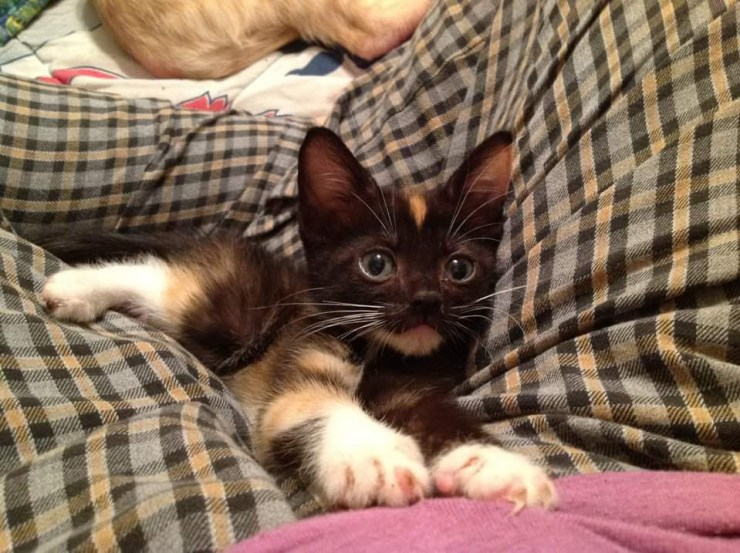 Calico kitten stretched out in womans lap