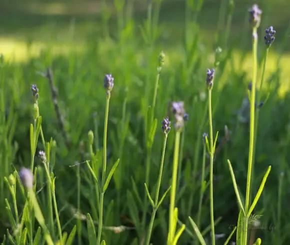 Bee Friendly Plants image of lavender flowers just emerging