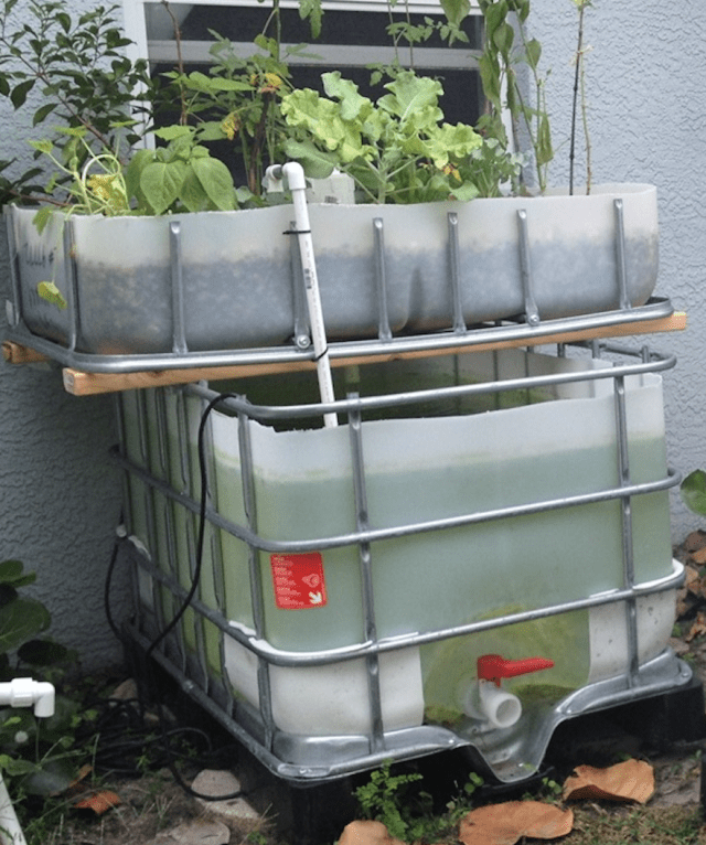 Aquaponic in kochi from water tank