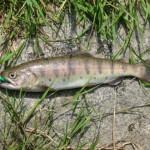 "Yamame trout on green caddisfly larva (""kurokawa mushi"") 013"