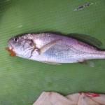 White croaker on orange salmon egg string 070