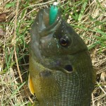 Nikko green waxworm 20150419
