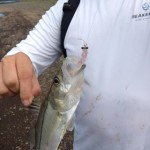 costa rica snook 1