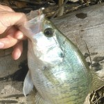 Nikko brown pin worm - crappie small