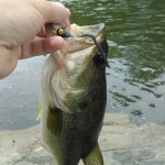 Occoquan River bass 2015 small