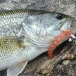 bass on Nikko salmon eggs small