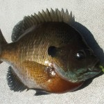 bluegill on yellow bait ball 1 20150423 cropped small