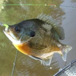 bluegill on yellow bait ball 3 20150423 small