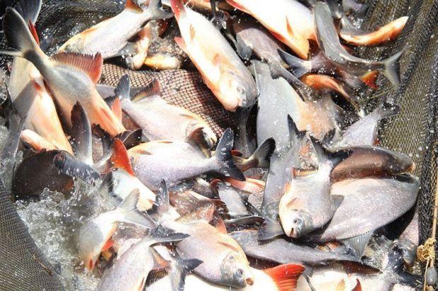 puno-acuicultura-produce-itusers