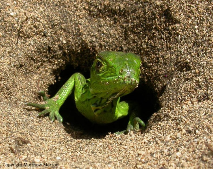 Image result for green iguanas stealing food on the beach