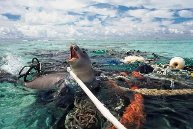 foca 650x435 ทำความสะอาดครั้งใหญ่ที่สุดของโลก ล้างมหาสมุทร โดยฝีมือเด็กอายุ 19 ปีกับ Ocean Cleanup Project