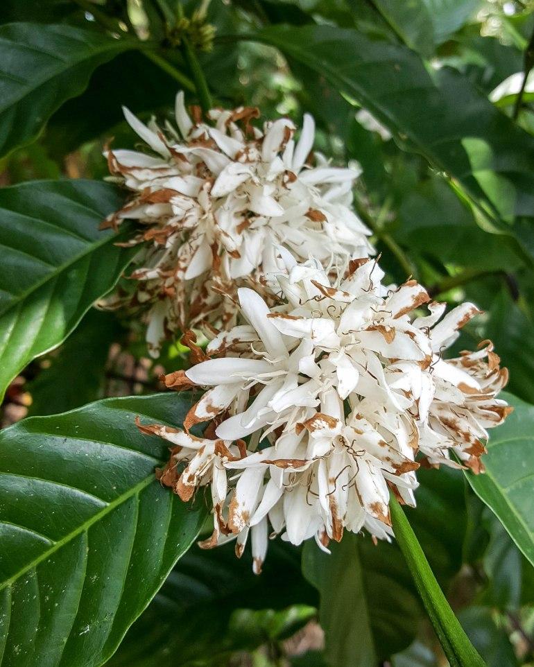 Coffee Blossom tea ชาดอกกาแฟมากประโยชน์ ไร้แทนนินและคาเฟอีน 16 - blossom