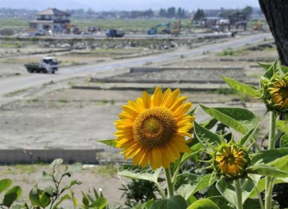 ดอกทานตะวันนับล้านกำลังช่วยดูดซับสารกัมมันตภาพรังสีที่ ฟูกูจิมา 14 - Koyu Abe