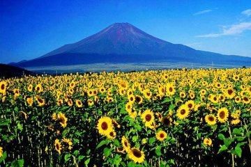 ดอกทานตะวันนับล้านกำลังช่วยดูดซับสารกัมมันตภาพรังสีที่ ฟูกูจิมา