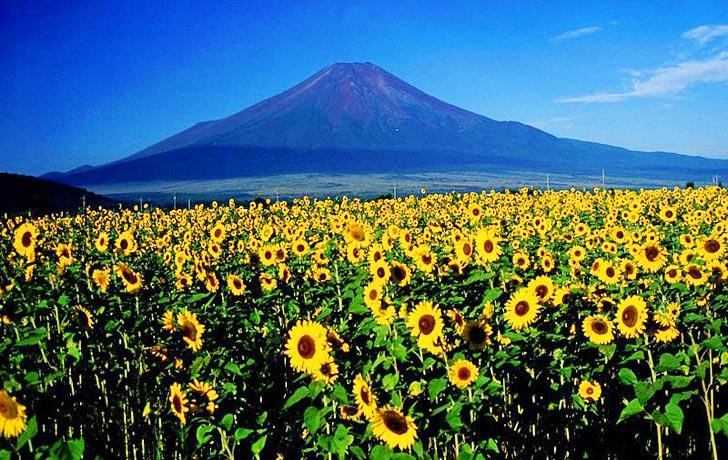 %name ดอกทานตะวันนับล้านกำลังช่วยดูดซับสารกัมมันตภาพรังสีที่ ฟูกูจิมา