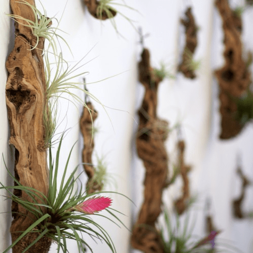 Screen shot 2011 12 26 at 2.43.18 PM Grape Wood Tillandsia Garden