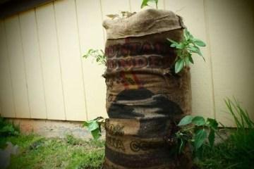 Garden Sack สวนกระสอบ...ปลูกผักสวนครัว แบบไม่ต้องการพื้นที่ 12 - Garden sack