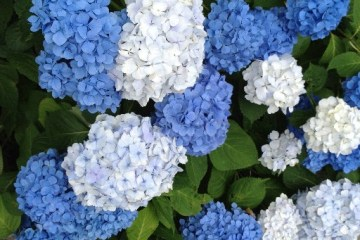 See you next year, Hydrangea