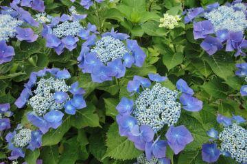 สิ่งที่น่ารู้เกี่ยวกับดอกไฮเดรนเยีย Hydrangea