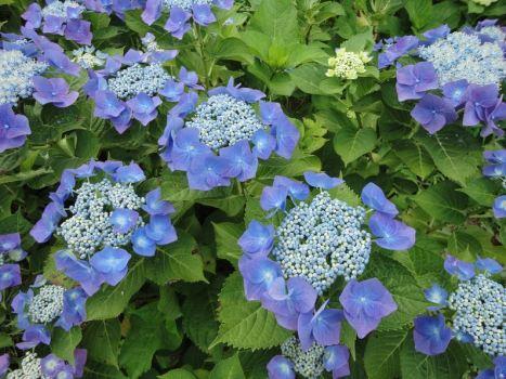สิ่งที่น่ารู้เกี่ยวกับดอกไฮเดรนเยีย Hydrangea 15 -