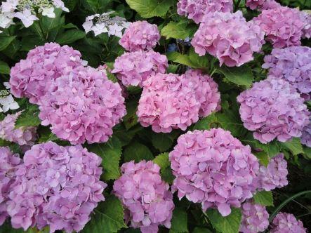 Full-bloom pink