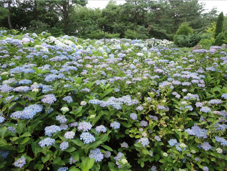 Large Hydrangea field