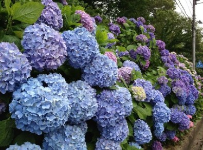 %name See you next year, Hydrangea