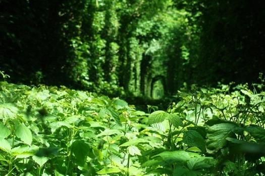 25550926 235820 อุโมงค์สีเขียว.. อุโมงค์แห่งรัก.. เส้นทางในธรรมชาติสำหรับรถไฟ และคนรักกัน..ที่สุดแสนโรแมนติก