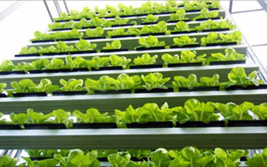 11 17 2012 8 13 43 PM สิงคโปร์ ทำสวนผักแนวตั้งเพื่อการค้าเป็นครั้งแรกในโลก