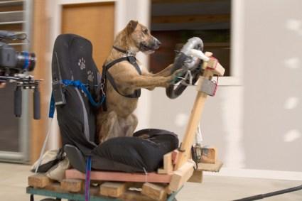 dogs mini03 425x283 driving dogs สอนน้องหมาขับรถ