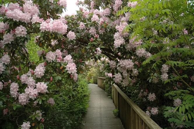 Lost Gardens of Heligan - rhododendron bridge