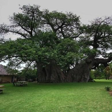 ต้นไม้อายุ6,000ปี ที่ข้างในกลายเป็นผับเก๋ๆ 16 - Baobab