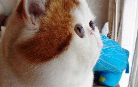 la tete ecrasee du persan Snoopybabe แมวเซเลบฯ บนโลกออนไลน์