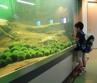 まりも Marimo มาริโมะ (Moss ball)พืชน้ำสุดฮิต 15 - Marimo
