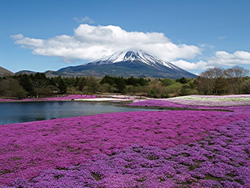 83253e09339fd27c4bd86f1a20c81660 Chiba Sakura ชิบะซากุระ ภูเขาปูพรมสีชมพู