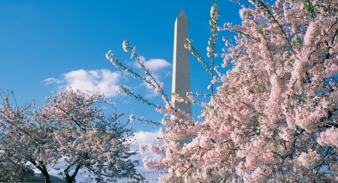 cherry_blossom_fest_washmon_background_2