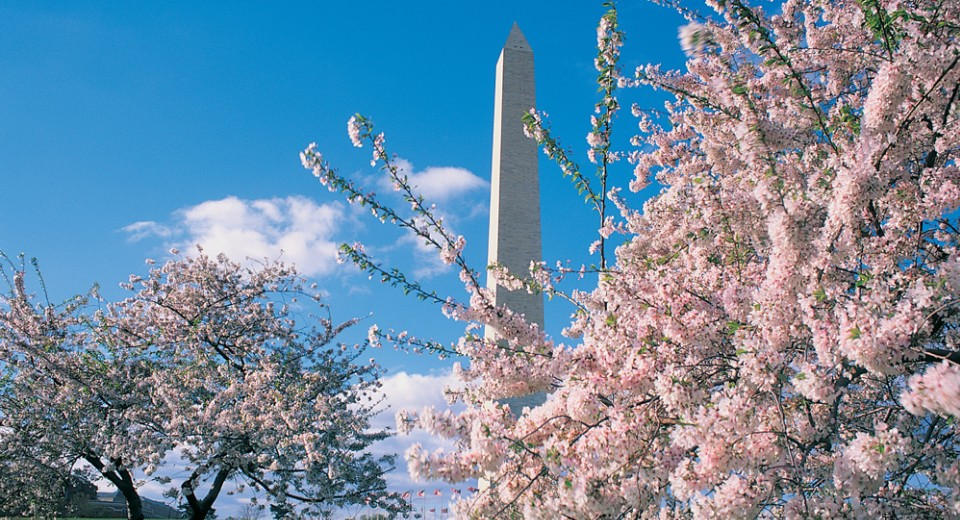 cherry blossom fest washmon background 2 เทศกาลซากุระ  National  Cherry Blossom Festival
