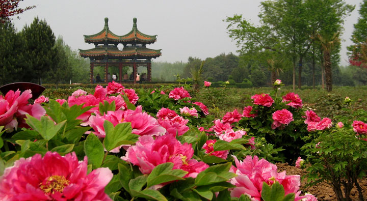 Luoyang Peony Festival เทศกาลดอกโบตั๋น 13 - Flower