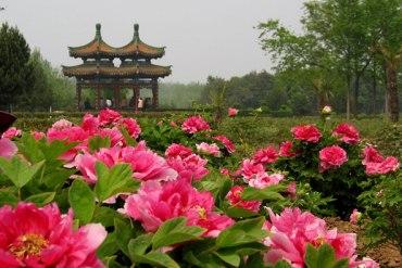 Luoyang Peony Festival เทศกาลดอกโบตั๋น 13 - ดอกโบตั๋น