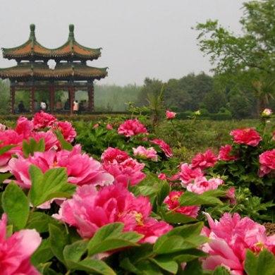 Luoyang Peony Festival เทศกาลดอกโบตั๋น 16 - Flower