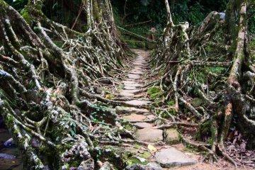 สะพานมีชีวิต เกิดจากรากไม้และเถาวัลย์..เป็นวิธีสร้างสะพานจากภูมิปัญญาท้องถิ่นของชาวเขาในอินเดีย 12 - root bridge